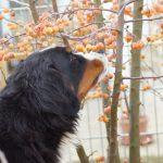 Bella klaut Zieräpfel